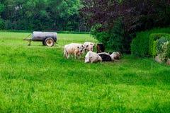 Un gregge delle mucche su un campo verde Fotografia Stock Libera da Diritti