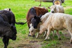 Un gregge delle mucche su un campo verde Fotografia Stock