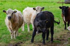 Un gregge delle mucche su un campo verde Fotografie Stock Libere da Diritti