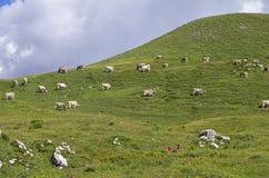 Un gregge delle mucche su un pascolo della montagna Fotografia Stock