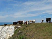 Un gregge delle mucche sull'orlo di una scogliera Fotografia Stock Libera da Diritti