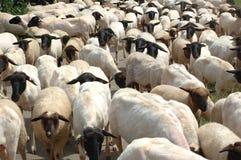 Un gregge delle pecore Immagini Stock