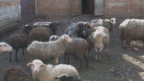 Un gregge delle pecore in bianco e nero e le capre con i corni camminano e funzionano nel recinto chiuso nel cortile un giorno di archivi video