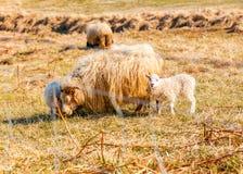Un gregge delle pecore che mangiano erba nel campo fotografia stock libera da diritti