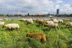 Un gregge delle pecore marroni che si appollaiano nell'alta erba sulla riva Fotografia Stock Libera da Diritti