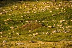 Un gregge delle pecore nelle montagne Immagini Stock