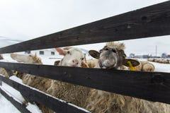 Un gregge delle pecore su un'azienda agricola in un giorno di inverno Immagine Stock Libera da Diritti