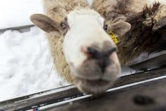 Un gregge delle pecore su un'azienda agricola in un giorno di inverno Fotografia Stock