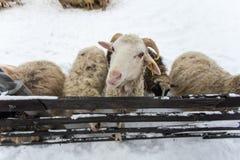 Un gregge delle pecore su un'azienda agricola in un giorno di inverno Immagine Stock