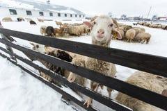 Un gregge delle pecore su un'azienda agricola in un giorno di inverno Immagini Stock Libere da Diritti
