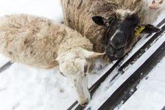 Un gregge delle pecore su un'azienda agricola in un giorno di inverno Fotografia Stock Libera da Diritti