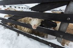 Un gregge delle pecore su un'azienda agricola in un giorno di inverno Fotografie Stock Libere da Diritti