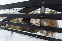 Un gregge delle pecore su un'azienda agricola in un giorno di inverno Immagini Stock