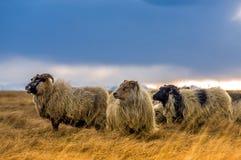 Un gregge delle pecore in un campo Immagini Stock