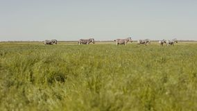 Un gregge delle zebre sta pascendo nella steppa L'erba sta passando il vento video d archivio