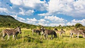 Gregge della zebra Immagine Stock