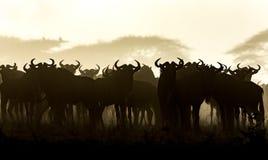 Un gregge dello gnu barbuto bianco nel primo mattino, Serengeti, Tanzania Immagine Stock