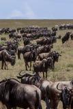 Un gregge dello gnu nel Serengeti immagini stock libere da diritti