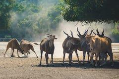 Un gregge di belle grandi antilopi orientali del bongo fotografia stock libera da diritti