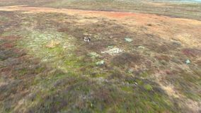 Un gregge di funzionamento bianco della renna sulla tundra