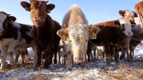 Un gregge di giovani mucche archivi video