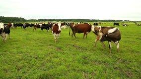 Un gregge scarno delle mucche che pascono in un prato di erba verde stock footage