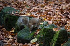 Un Grey Squirrel Eared Immagini Stock