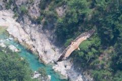 Un grifone vola sul fiume nelle gole du Verdon Fotografie Stock Libere da Diritti
