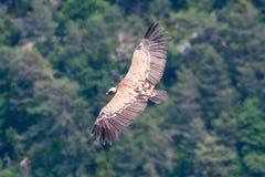 Un grifone vola sulle gole du Verdon fotografia stock libera da diritti