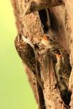 Un grimpereau des bois. photos stock
