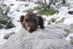 ¡Un grisáceo Cub cansado de la nieve! imagen de archivo