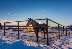 Un gris chez le cheval de pommes derrière une barrière de ranch au coucher du soleil, Altai, Russie photographie stock libre de droits