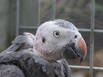 Un gris desplumado de Timneh Fotografía de archivo libre de regalías