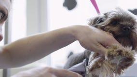 Un groomer profesional de la mujer esquila las lanas en perro con las electro podadoras Animal doméstico nacional adorable metrajes