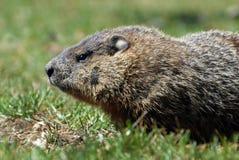 Un groundhog Toronto Ontario Immagini Stock