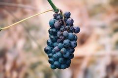 Un groupe bleu isolé de raisin Image libre de droits
