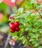 Un groupe d'airelles rouges mûres rouges lumineuses avec les feuilles vertes image libre de droits