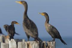 Un groupe d'auritus double-crêté de Phalacrocorax de cormorans été perché sur les poteaux en bois et apprécier la chaleur du sole photo libre de droits
