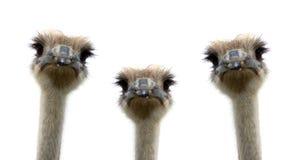 Un groupe d'autruches d'isolement sur le fond blanc Photographie stock libre de droits