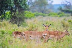 Un groupe d'Imapala ou cerfs communs posant dans une réservation de jeu photo libre de droits