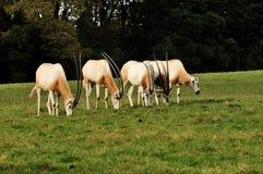 Un groupe d'Oryx Image libre de droits