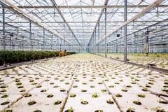 Un groupe de bébé plante l'élevage à l'intérieur de des pots à l'intérieur d'un greenh Image stock