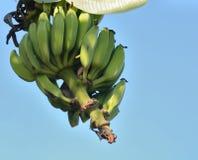 Un groupe de bananes chante sur une branche d'un palmier Photographie stock libre de droits