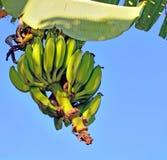 Un groupe de bananes chante sur une branche d'un palmier Photos libres de droits