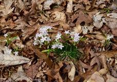 Un groupe de beauté de ressort blanche et rose savoureuse fleurit l'émergence du plancher de forêt Photos libres de droits
