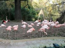Un groupe de beaux flamants roses images libres de droits