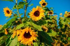 Un groupe de beaux tournesols vert jaunâtre contre un beau ciel bleu de la fin  photographie stock libre de droits