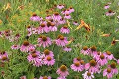 Un groupe de cône pourpre fleurit en pleine floraison Image libre de droits