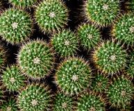 Un groupe de cactus de la famille de mamilaria photographie stock libre de droits