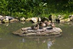 Un groupe de canards Photo stock